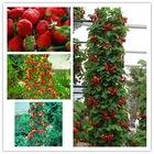 4 Mevsim Meyve Veren Alman Çilek Ağacı Tohumu