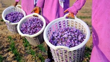 Safranbolu'da Safran Çiçeği Hasadı- Bütün Yemekler Dahil